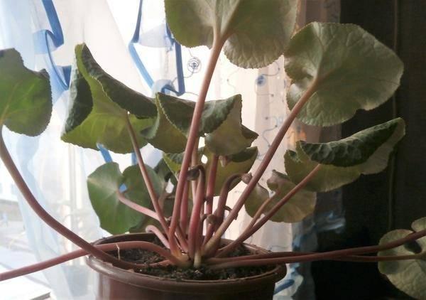 Почему скручиваются листья у цикламена
