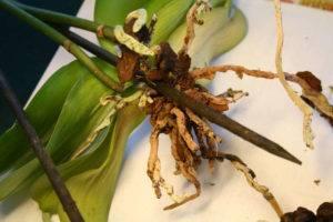 Залила орхидею как спасти