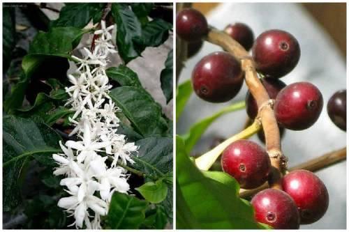 Грунт для кофейного дерева