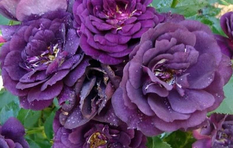 Розово фиолетовый