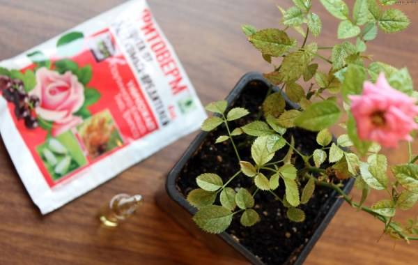 Через несколько суток после обработки растение начинает приходить в норму