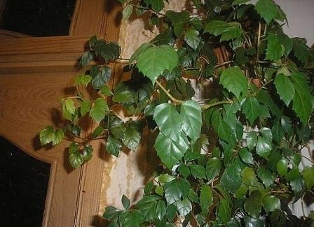 Березка растение