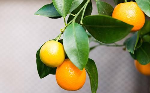 Цитрофортунелла лимон