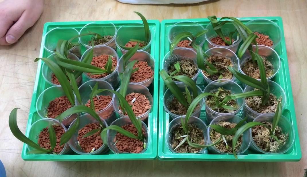 Можно ли орхидею вырастить из семян