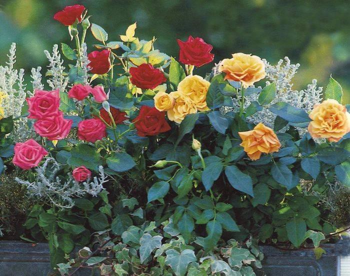 Уход за розами в домашних условиях