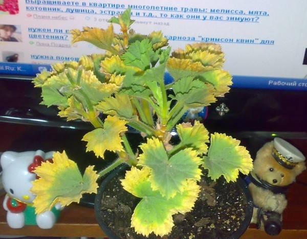 Почему у королевской герани желтеют листья