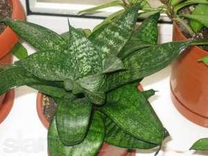 Комнатное растение щучий хвост