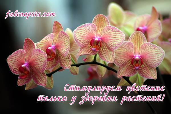 Не цветет орхидея фаленопсис что делать