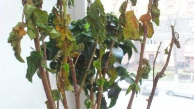Почему у гибискуса сохнут кончики листьев