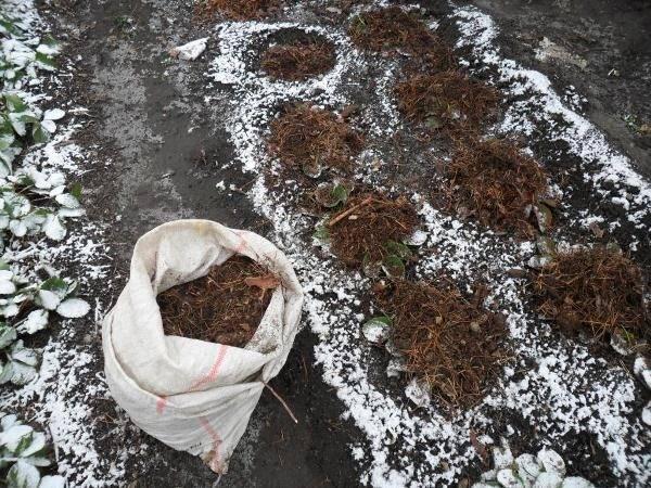 Сорт клубники зенга