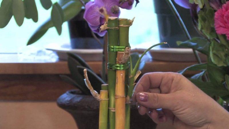 Бамбуковая драцена