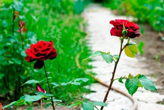 Удобрение для роз весной и летом