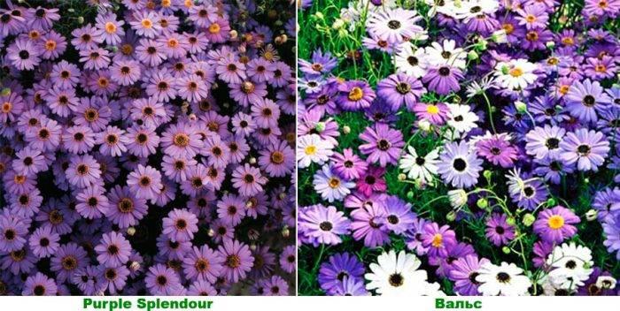 Цветы брахикома