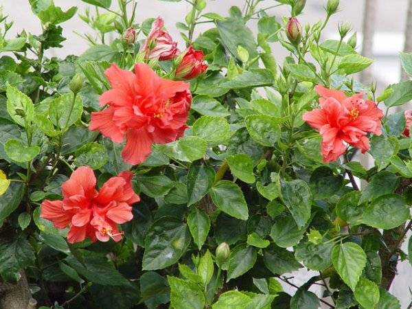 Роза китайская комнатная размножение