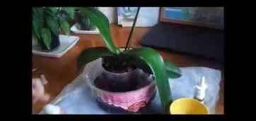 Нужно ли поливать орхидею сразу после пересадки