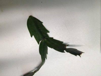 Декабрист сбрасывает листья почему