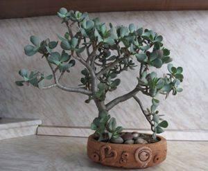 Денежное дерево суккулент