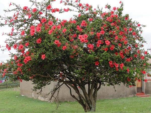 Цветы похожие на розы эустома