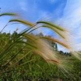 Трава ковыль