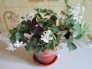 Полосатый цветок комнатный 108
