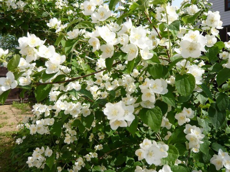 чубушник садовый жасмин