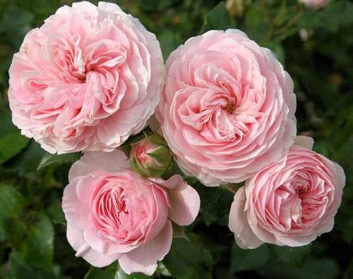 Штамбовые розы что это такое