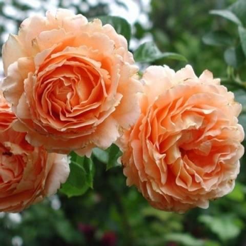 Постоянно цветущие розы