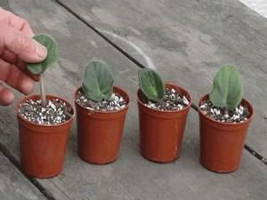 Как посадить лист фиалки