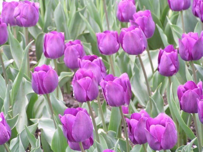 Тюльпаны голубые