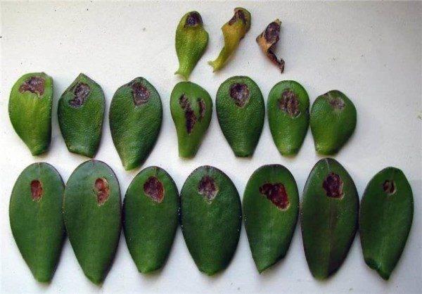 Размножение денежного дерева в домашних условиях