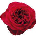 Букет из роз пионовидных