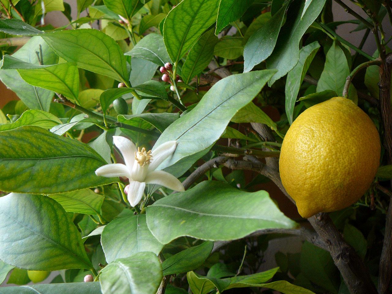 Как обрезать лимон в домашних условиях