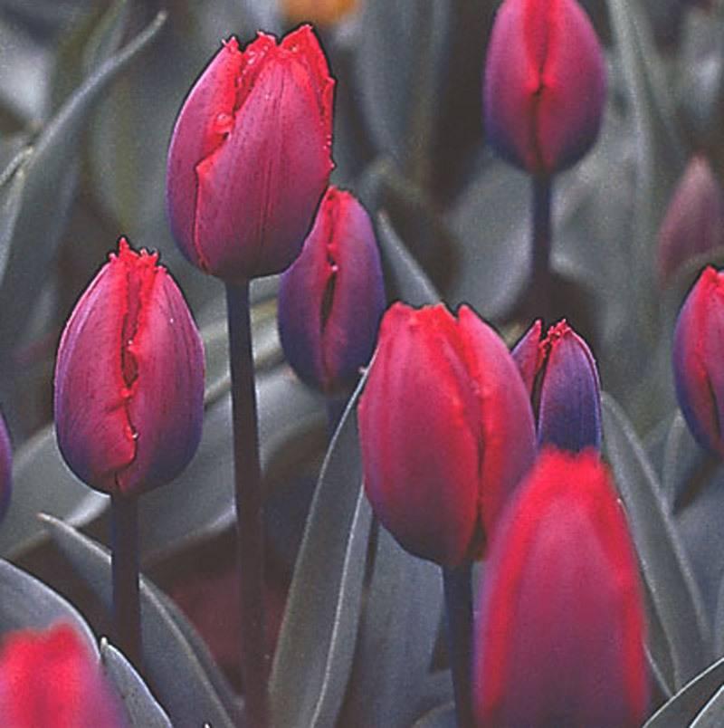 Семена тюльпанов
