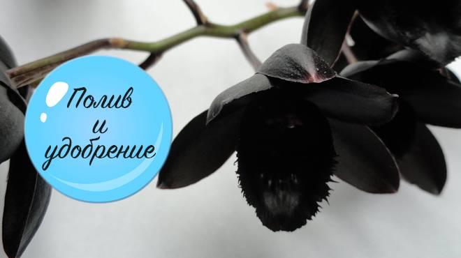 Черная орхидея цветок