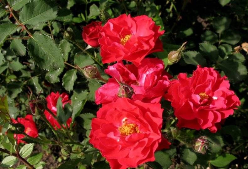Роза john franklin