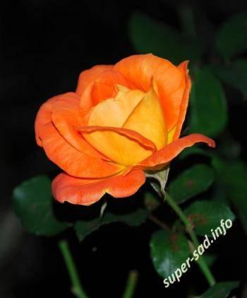 Роза желтая флорибунда сорта