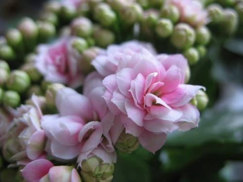 Каланхоэ цветущее уход