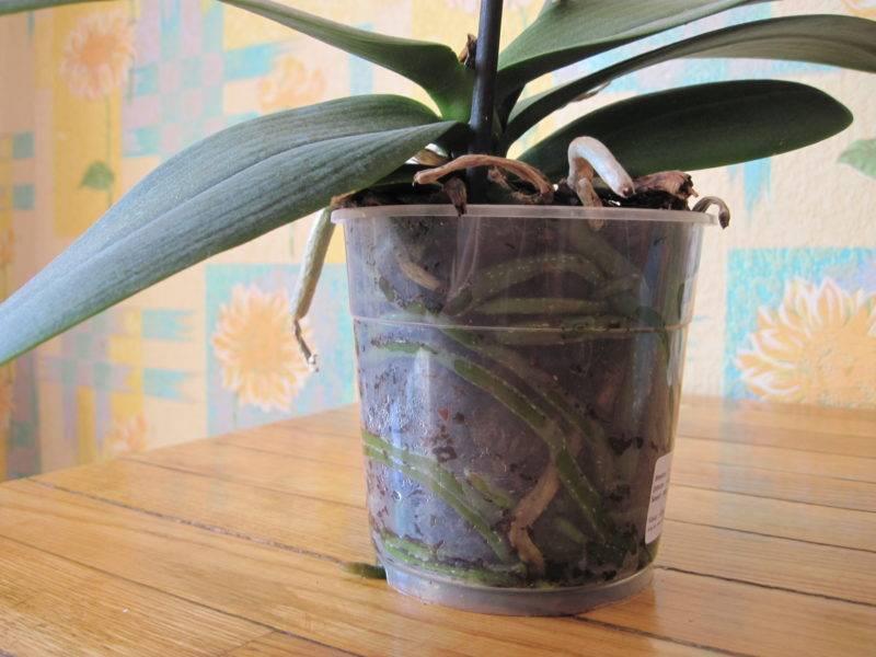 Как разделить орхидею в домашних условиях
