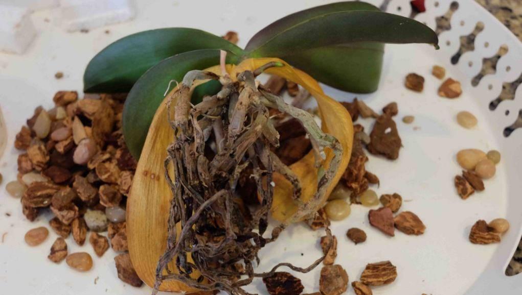У орхидеи сморщились листья что делать