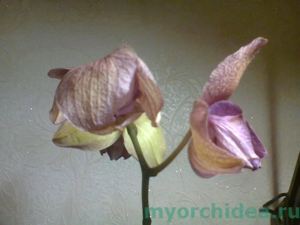 Почему вянет орхидея