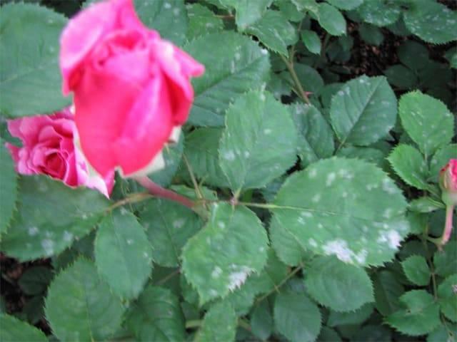 Ложная мучнистая роса на розах