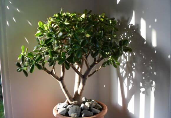 Как правильно прищипывать денежное дерево