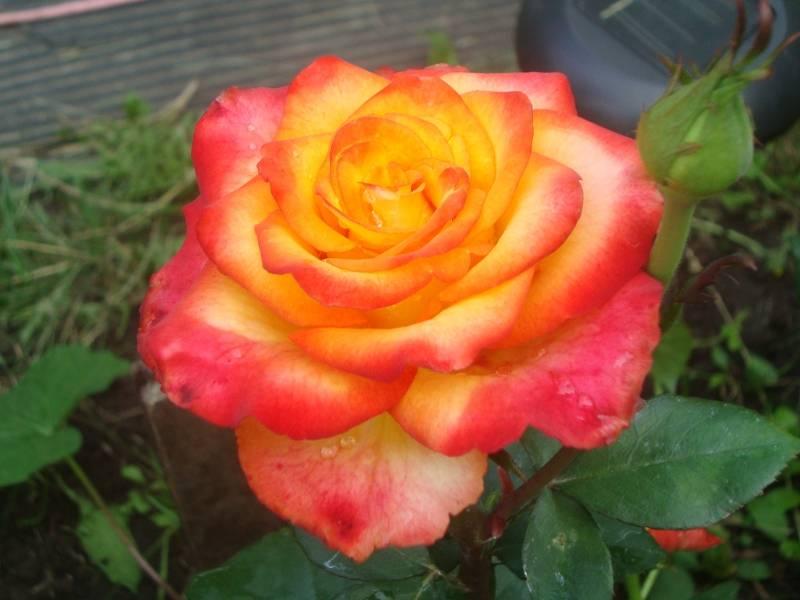 Роза царица цветов