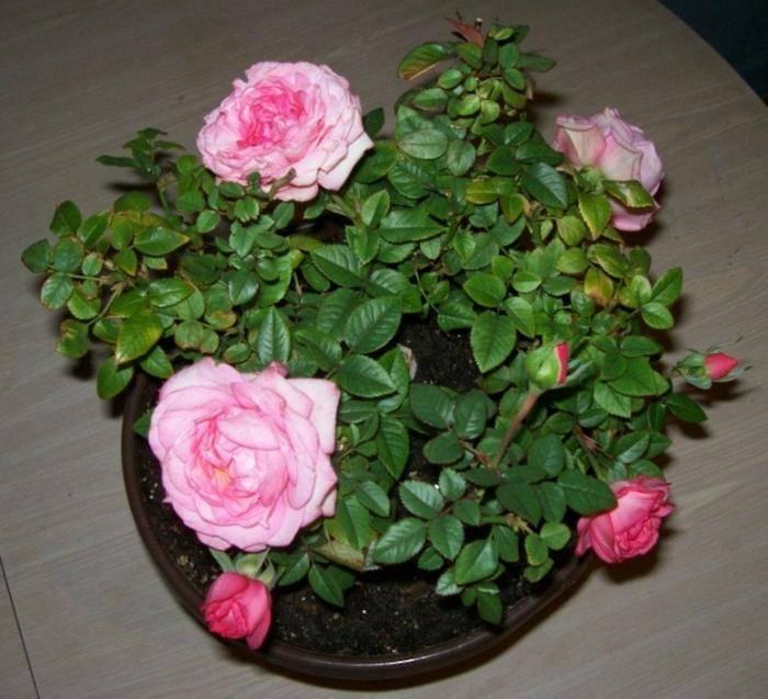 Kordana роза