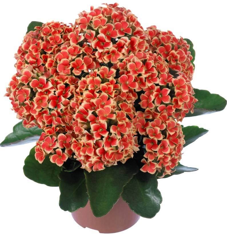 Каланхоэ метельчатоцветковое