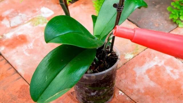 Орхидея полив во время цветения