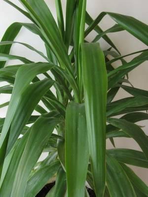 Как называется цветок с большими зелеными листьями