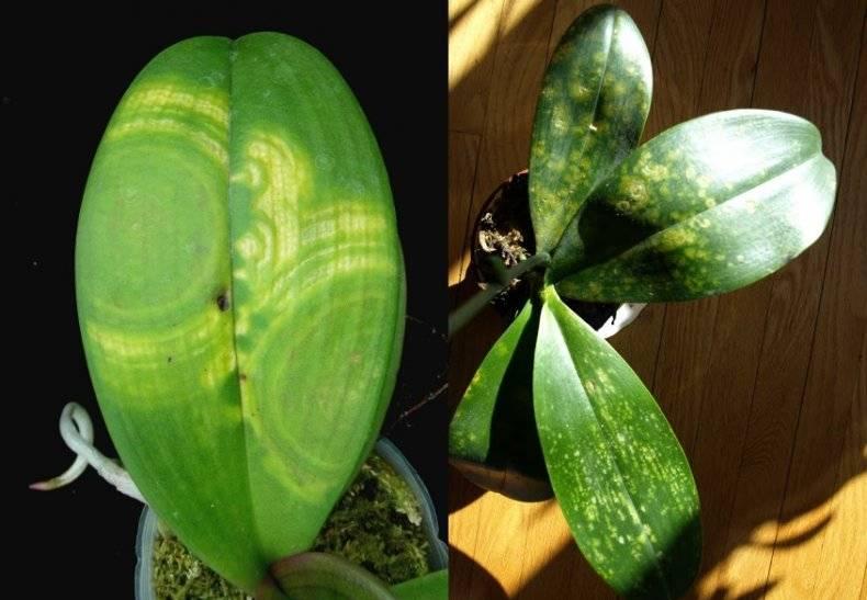 Темные пятна на листьях орхидеи