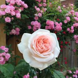 Роза пошла в шиповник что делать