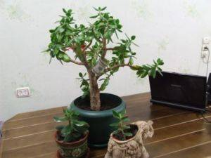 Как правильно посадить денежное дерево в горшок